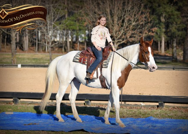 016-Major-Sorrel-Tobiano-APHA-Gelding-For-Sale