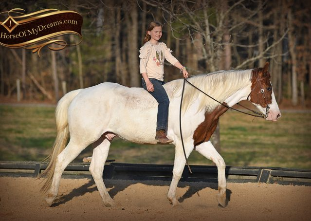 020-Major-Sorrel-Tobiano-APHA-Gelding-For-Sale