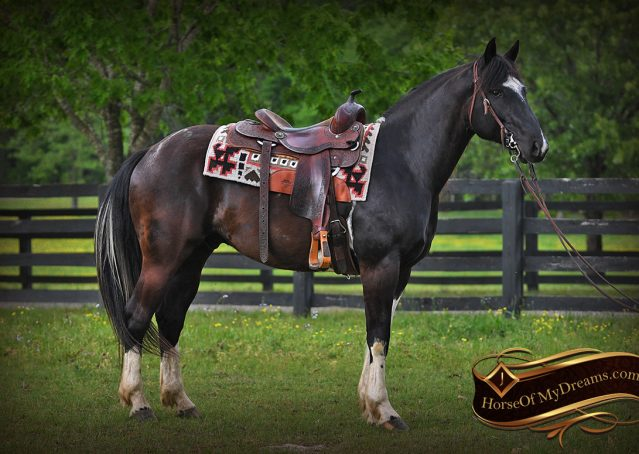 002-Durango-Black-Tobiano-Draft-Cross-Gelding-For-Sale