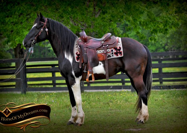 004-Durango-Black-Tobiano-Draft-Cross-Gelding-For-Sale