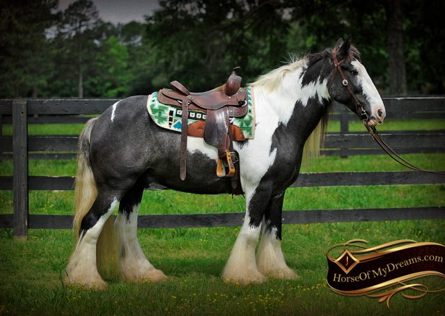 001-Swagger-Black-Tobiano-Gypsy-Vanner-Gelding-For-Sale