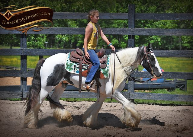004-Charley-Gypsy-Vanner-Gelding-kids-beginner-gelding-for-sale-black-white-paint