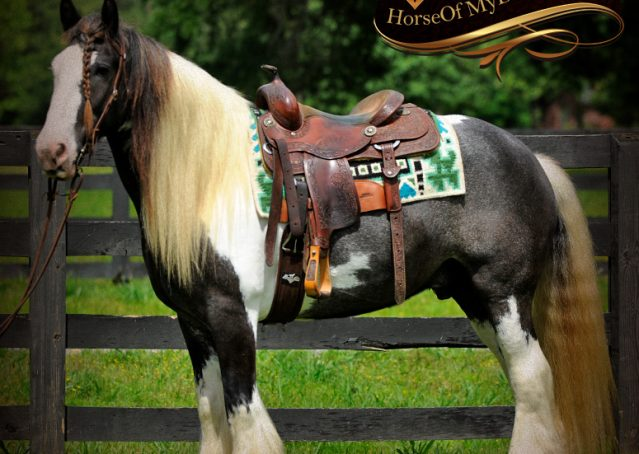 004-Swagger-Black-Tobiano-Gypsy-Vanner-Gelding-For-Sale