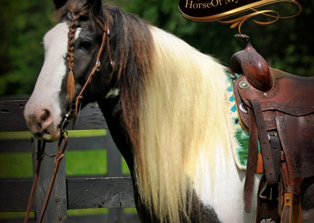 005-Swagger-Black-Tobiano-Gypsy-Vanner-Gelding-For-Sale
