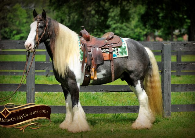 006-Swagger-Black-Tobiano-Gypsy-Vanner-Gelding-For-Sale