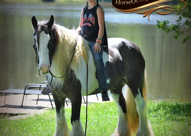 008-Swagger-Black-Tobiano-Gypsy-Vanner-Gelding-For-Sale