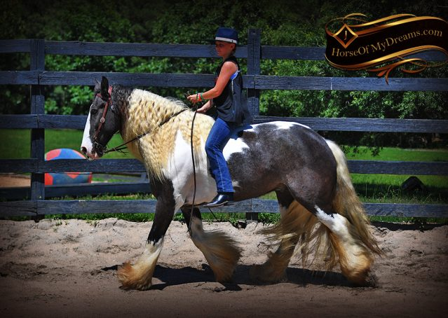 010-Swagger-Black-Tobiano-Gypsy-Vanner-Gelding-For-Sale