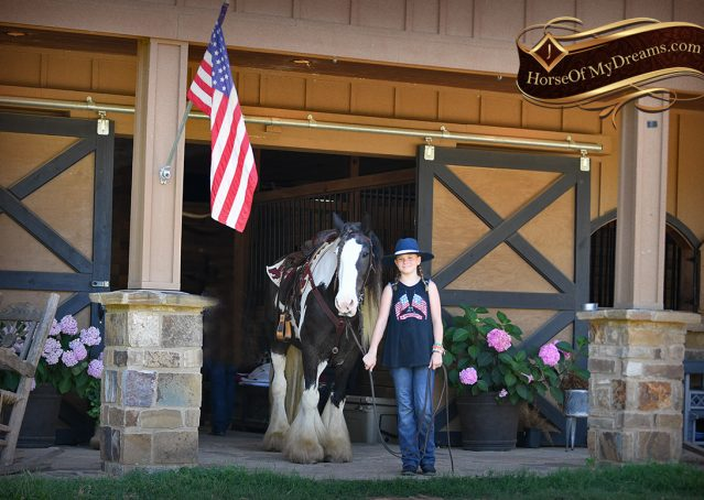 012-Swagger-Black-Tobiano-Gypsy-Vanner-Gelding-For-Sale