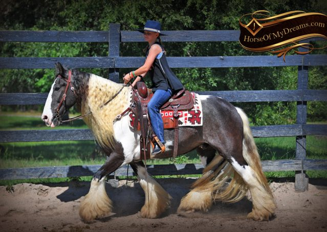 013-Swagger-Black-Tobiano-Gypsy-Vanner-Gelding-For-Sale