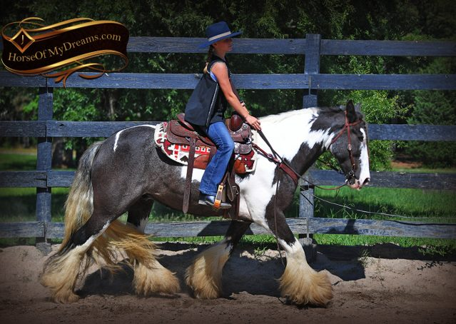 014-Swagger-Black-Tobiano-Gypsy-Vanner-Gelding-For-Sale