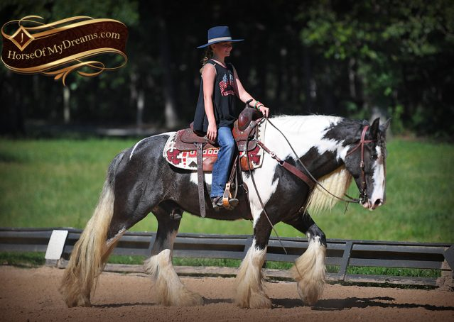019-Swagger-Black-Tobiano-Gypsy-Vanner-Gelding-For-Sale