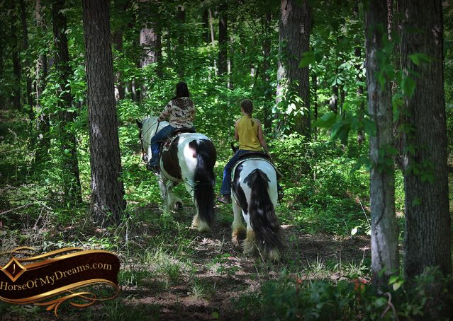 020-Charley-Gypsy-Vanner-Gelding-kids-beginner-gelding-for-sale-black-white-paint