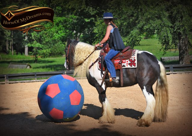 020-Swagger-Black-Tobiano-Gypsy-Vanner-Gelding-For-Sale