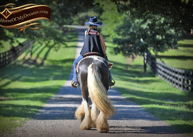 023-Swagger-Black-Tobiano-Gypsy-Vanner-Gelding-For-Sale