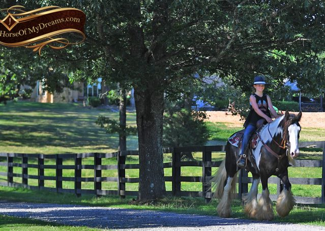 024-Swagger-Black-Tobiano-Gypsy-Vanner-Gelding-For-Sale