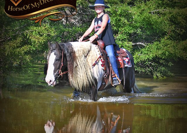 026-Swagger-Black-Tobiano-Gypsy-Vanner-Gelding-For-Sale