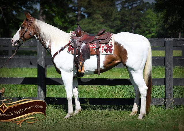 004-Cocoa-APHA-Sorrel-Tobiano-Roping-Team-heading-healing-beginner-horse-for-sale