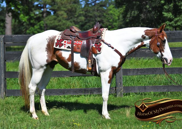 005-Cocoa-APHA-Sorrel-Tobiano-Roping-Team-heading-healing-beginner-horse-for-sale