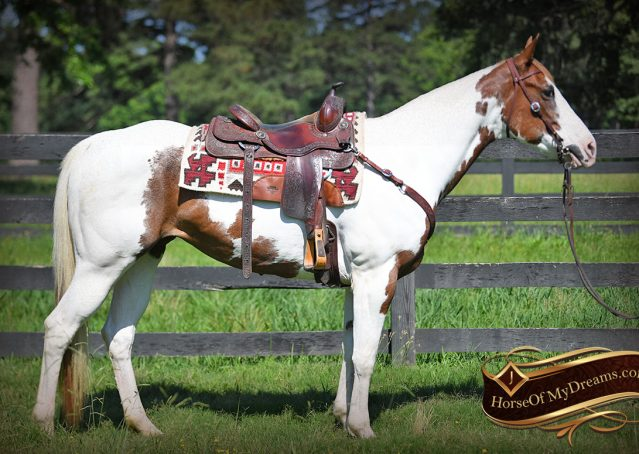 006-Cocoa-APHA-Sorrel-Tobiano-Roping-Team-heading-healing-beginner-horse-for-sale