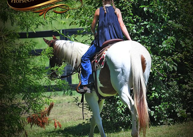 025-Cocoa-APHA-Sorrel-Tobiano-Roping-Team-heading-healing-beginner-horse-for-sale