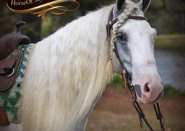 001-Jameson-Gray-white-gypsy-vanner-gelding-for-sale