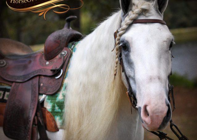 002-Jameson-Gray-white-gypsy-vanner-gelding-for-sale