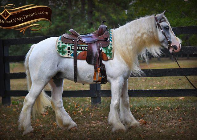004-Jameson-Gray-white-gypsy-vanner-gelding-for-sale