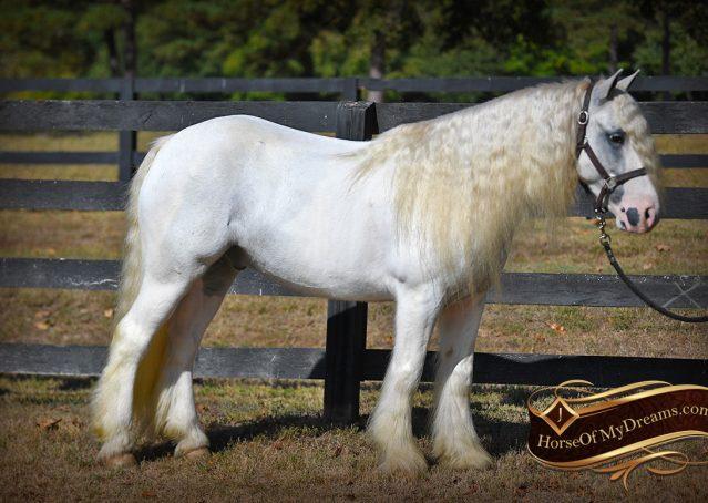 005-Jameson-Gray-white-gypsy-vanner-gelding-for-sale