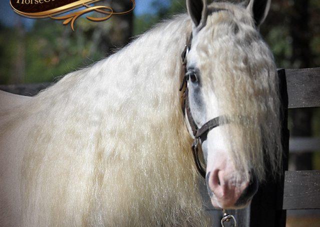 007-Jameson-Gray-white-gypsy-vanner-gelding-for-sale