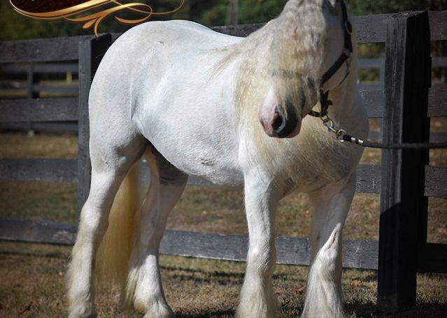 008-Jameson-Gray-white-gypsy-vanner-gelding-for-sale