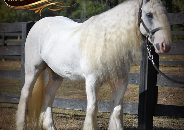 009-Jameson-Gray-white-gypsy-vanner-gelding-for-sale