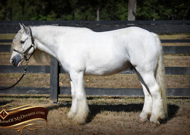 010-Jameson-Gray-white-gypsy-vanner-gelding-for-sale