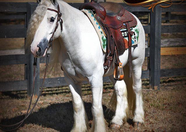 013-Jameson-Gray-white-gypsy-vanner-gelding-for-sale
