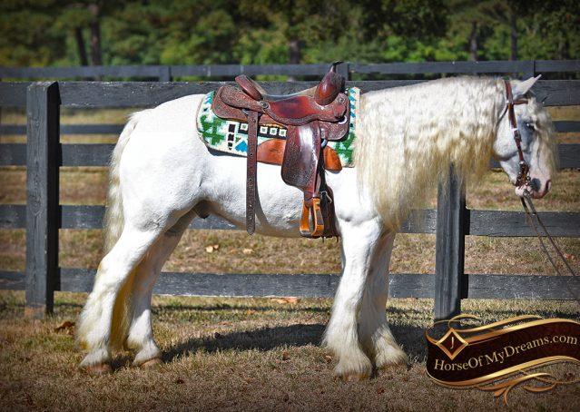 016-Jameson-Gray-white-gypsy-vanner-gelding-for-sale