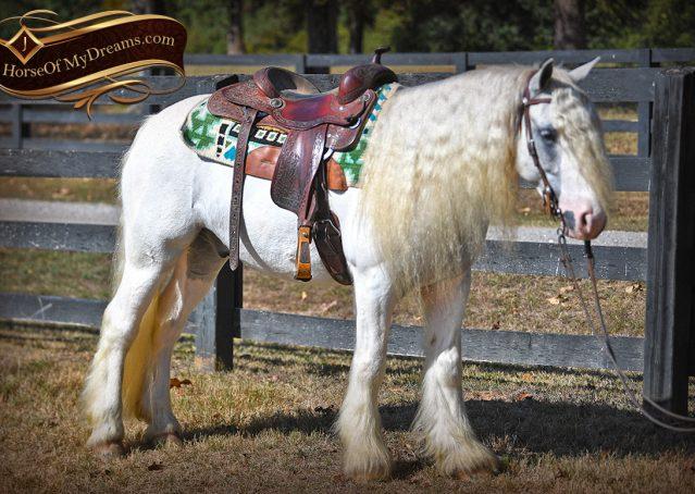 018-Jameson-Gray-white-gypsy-vanner-gelding-for-sale
