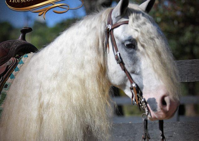 019-Jameson-Gray-white-gypsy-vanner-gelding-for-sale