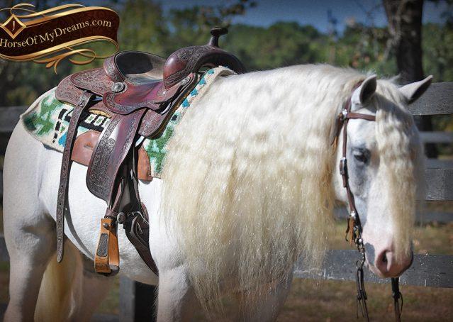 020-Jameson-Gray-white-gypsy-vanner-gelding-for-sale
