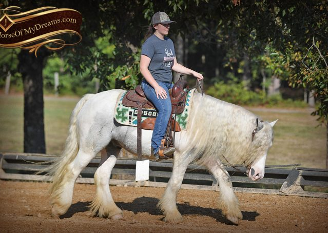 031-Jameson-Gray-white-gypsy-vanner-gelding-for-sale