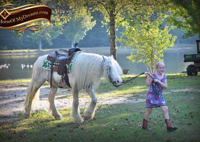 047-Jameson-Gray-white-gypsy-vanner-gelding-for-sale